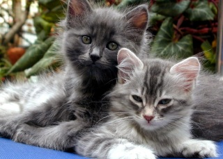 http://commons.wikimedia.org/wiki/Cat#mediaviewer/File:Cats_Petunia_and_Mimosa_2004.jpg